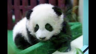 Panda cub makes first public appearance at Zoo Negara