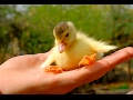 Cutest  Duckling - A Funny Ducks Videos Compilation 2017