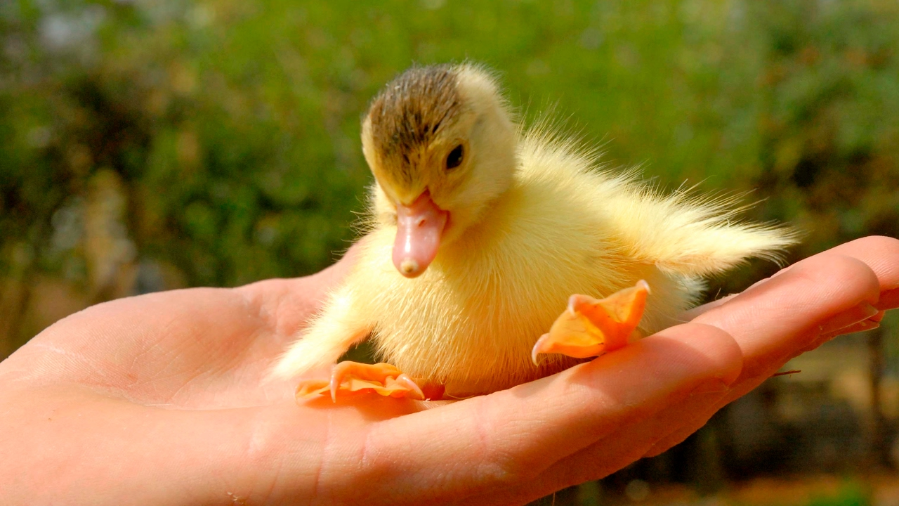 Cutest Duckling A Funny Ducks Videos Compilation 2017