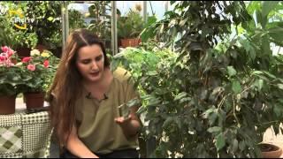 ÇİÇekler Dİyari - Ficus Benjamina Bİtkİsİ
