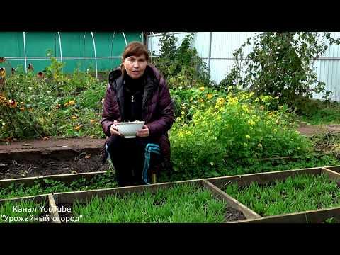 КОГДА САЖАТЬ ЛУК ПОД ЗИМУ | выращивание | посадки | посадка | осенняя | способ | сажать | осенью | сроки | когда | лука