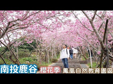南投鹿谷台大鳳凰自然教育園區,一條333階的河津櫻隧道以及蓊鬱的台灣杉森林浴步道
