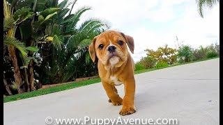 Buster the Handsome Male English Bulldog Mix Puppy for adoption in Southern California.