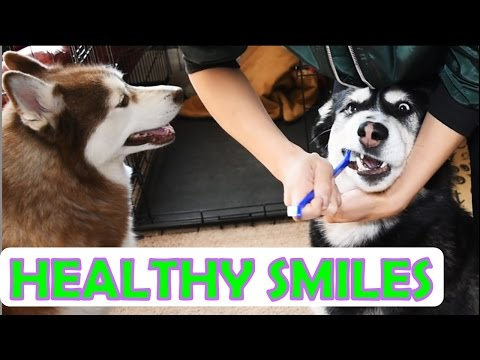 SIBERIAN HUSKY | Brushing my dogs' teeth!