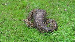 Una serpiente Pitón devora a una mujer. Indonesia!