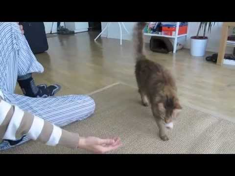 Cat learning how to fetch