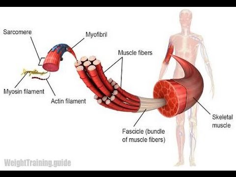 Structure Of Skeletal Muscle Youtube
