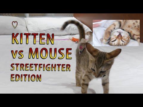 Streetfighter Kitten VS Mouse KNOCKOUT [SHORT VERSION] 4K