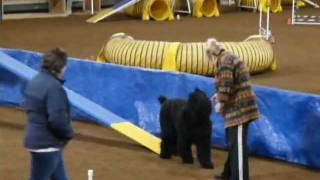 Lily - Black Russian Terrier agility training