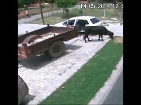 Cow thief