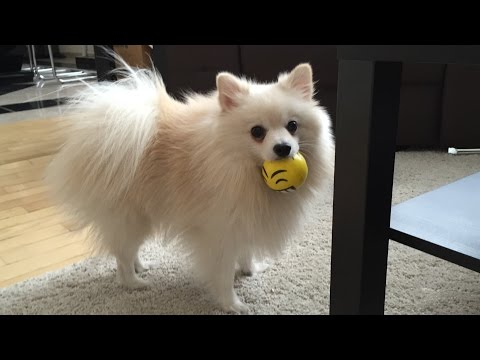 Cute dog play with yellow ball | Pomeranian Mr Spock
