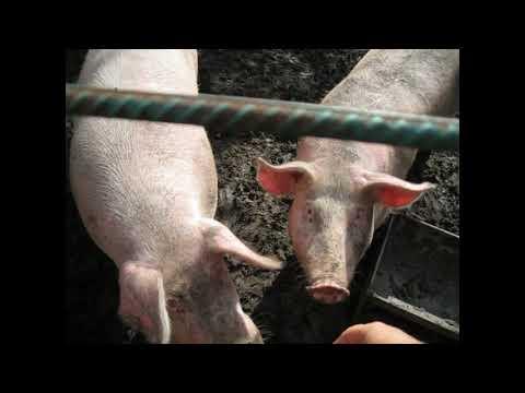 Вопрос: В каких регионах ограничили содержание свиней?