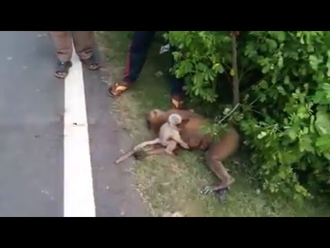 Monkey died in road accident , but baby monkey crying for her mother.