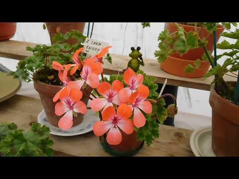 Zonartic pelargoniums in bloom.June.