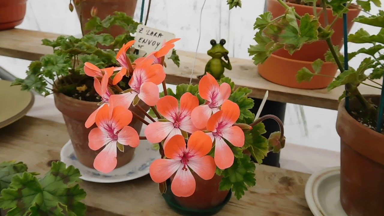 Zonartic Pelargoniums In Bloom June Youtube