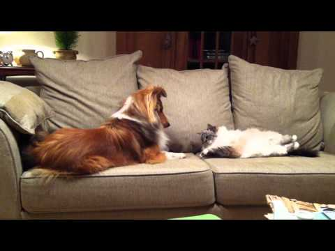 Sheltie and Cat playing
