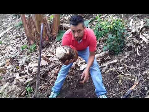 COMO SEMBRAR CORRECTAMENTE  PLANTA DE PLATANO