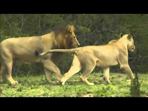 Lions Mating, Wild Dogs on AM Drive WildEarth 3/18/2016