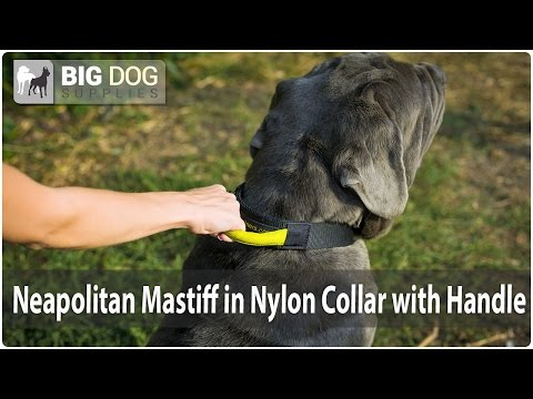 Gorgeous Neapolitan Mastiff Presents Water Proof Nylon Dog Collar with Handle