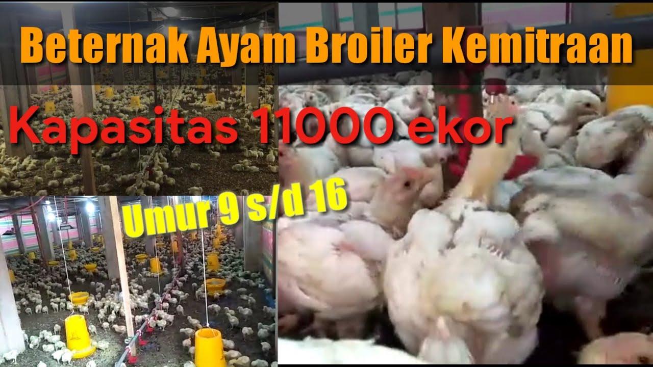 Usaha Ternak Ayam Broiler Kemitraan umur 9 sampai dengan ...