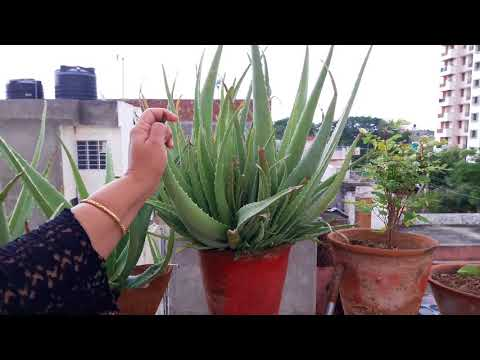 Care of Aloe Vera Plant || एलो वेरा की देखभाल || Best Plant with Medicinal Value