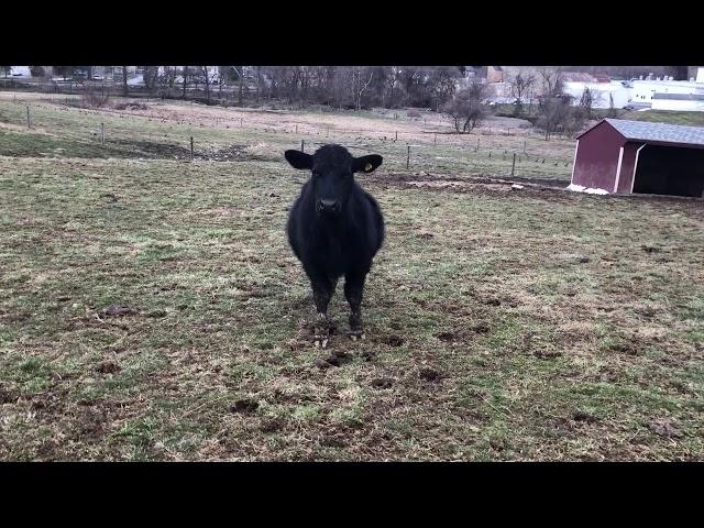 Goat Roundup