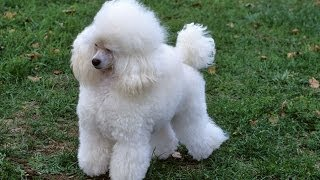 Poodle Dog & Puppies Information Video - Animal Videos
