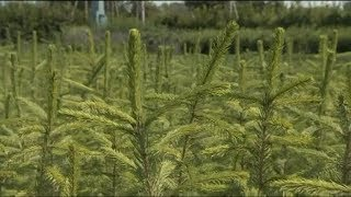 Садовые советы: выбираем хвойные растения