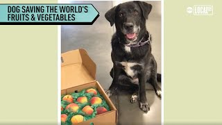 Dog Is Saving World's Fruits and Vegetables | Localish