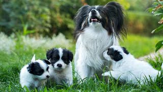 Pregnant Papillon dog and how to take care her