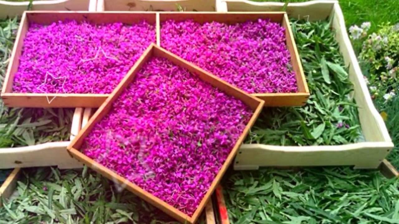 Цветки иван чая польза