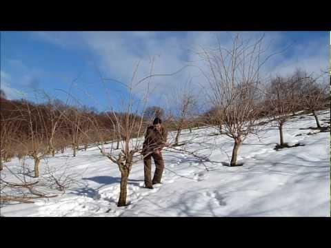 Top Holler Vulkan - Holunder Schnitt - Elderberry Cutting - www PY85