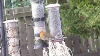 Robin Eating From Bird Feeder