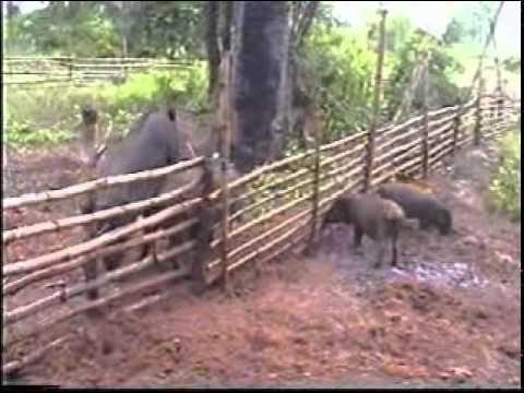 การเลี้ยงหมูป่า 1