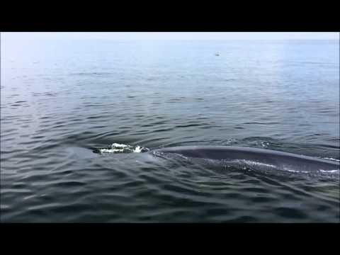 Bryde's Whale @Phetchaburi, Inner Gulf of Thailand.