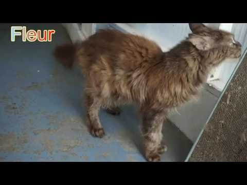 Maine Coons - Swansea Cats Protection