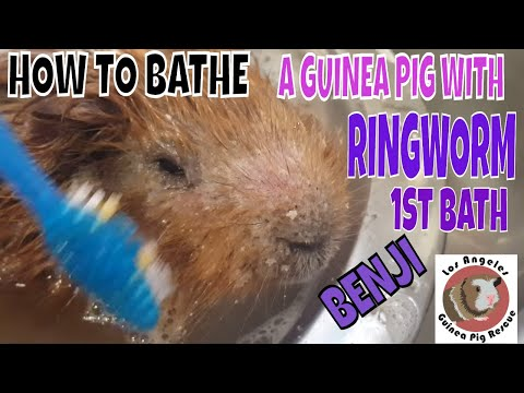 How To Treat Ringworm In Guinea Pigs.  New Rescue Pig's First Treatment Bath!