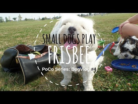 PoCo Series | DogVlog #4 | Frisbee with small dogs | Puppy eats bird poop