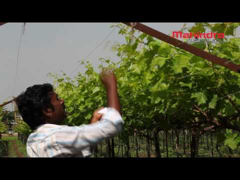 Grape Growing: Checking Thrips