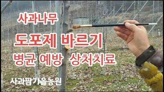 [사과재배] 사과나무 도포제  바르기