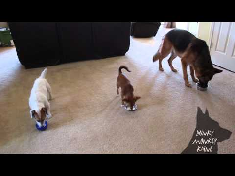 A Lesson in Impulse Control: Amazing Dog Trick