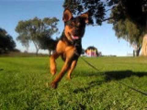 Lucy, Dog, Rottweiler, run, bark, bite, water, fountain ...
