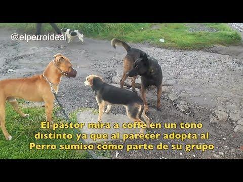 CUANDO UN PITBULL Y UN PASTOR SE ENCUENTRAN | Lenguaje Canino 🐕