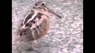 bird dancing to a hindi song(indian regional song)