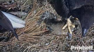 SWFL Eagles ~ A Squirrely Delivery 2.24.17