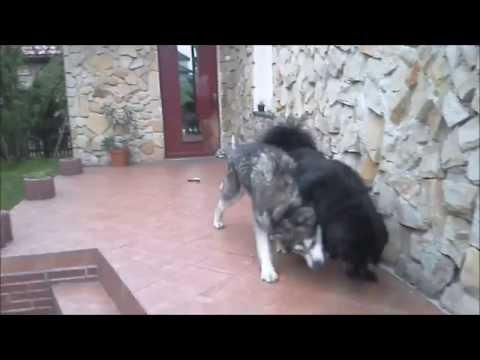 Fenix i Mamut ( Tibetan Mastiff & Alaskan Malamute )