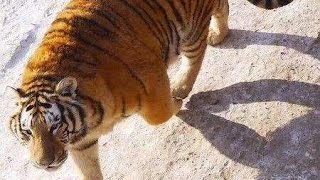 Oops! Siberian tigers take down drone