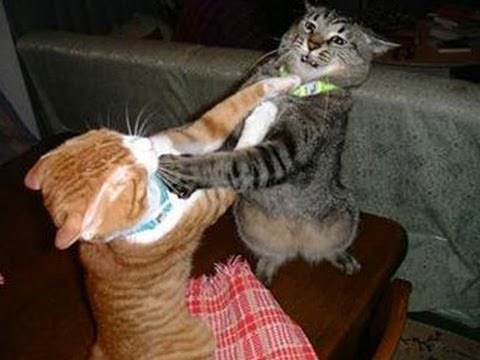 CATFIGHT ★ FUNNY Cat Fights (HD) [Funny Pets]