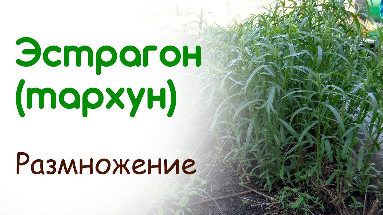 Полы́нь эстраго́нная, или эстраго́н, или тарху́н (лат. Artemísia dracúnculus). Флора северной америки · многолетние травы · сорные растения.