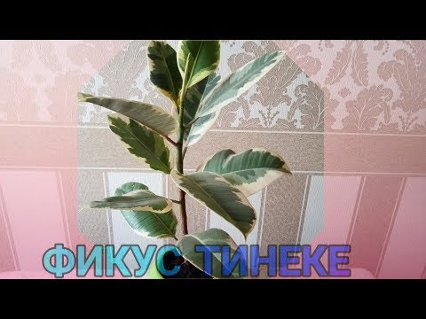 🍀 ФИКУС ТИНЕКЕ// 🥀 Новый горшок для фикуса Тинеке//🌷 Пересаживаем фикус Тинеке//